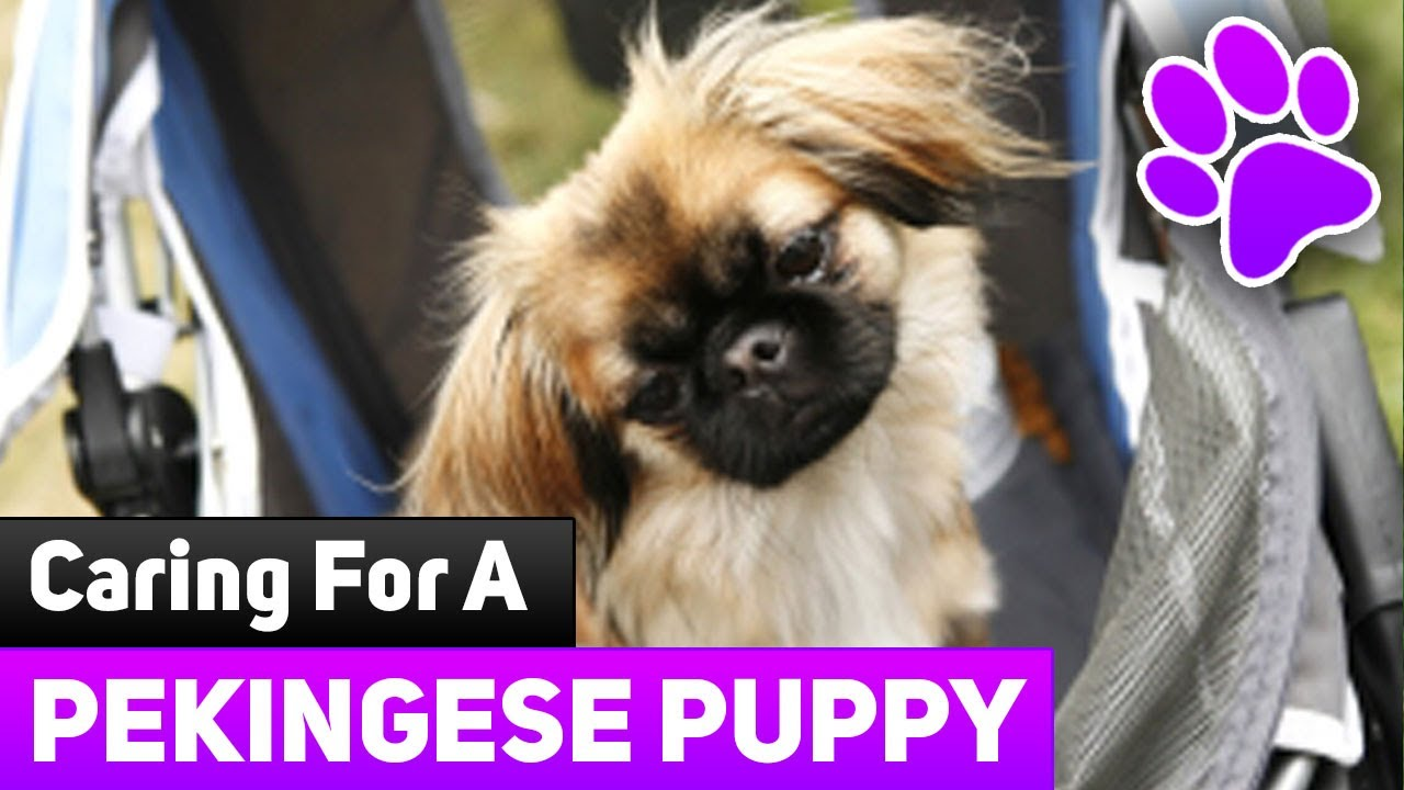 How To Care For Newborn Puppies Caring For A Pekingese Puppy