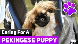 How To Care For Newborn Puppies - Caring For a Pekingese Puppy.