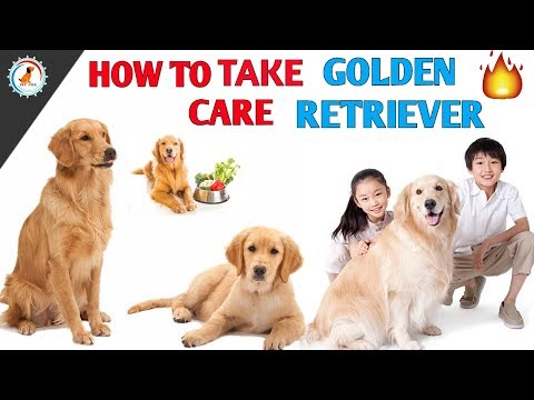 How To Maintain Golden Retriever / In Hindi / How to Maintain Golden Retriever health and body