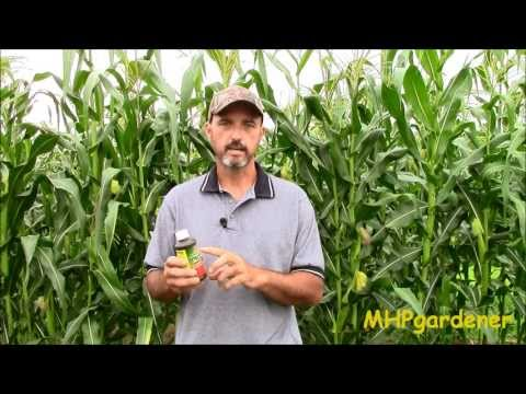 How To Control Ear Worms In Your Corn Using Bt - Bacillus Thuringiensis