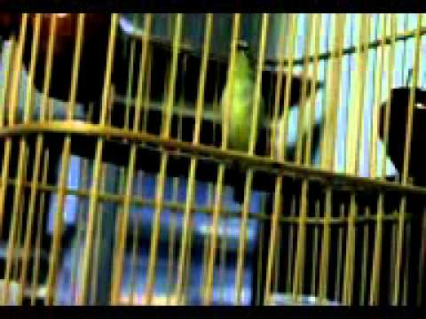 Video suara burung pleci/anak jar
