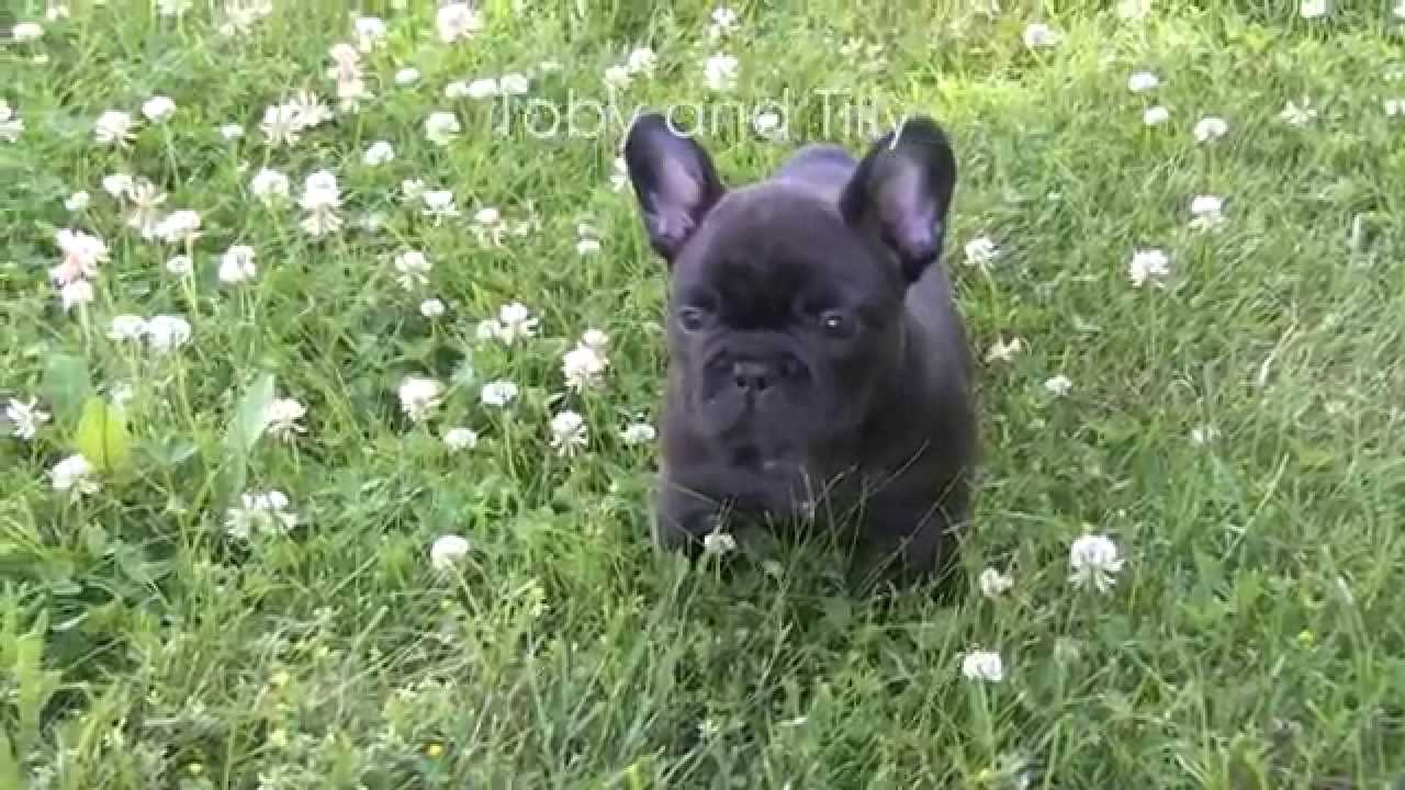 french bulldog puppies 6 weeks old