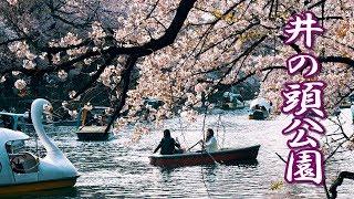 【Cherry blossoms】TOKYO. Inokashira Park 2019  #4K #井の頭公園