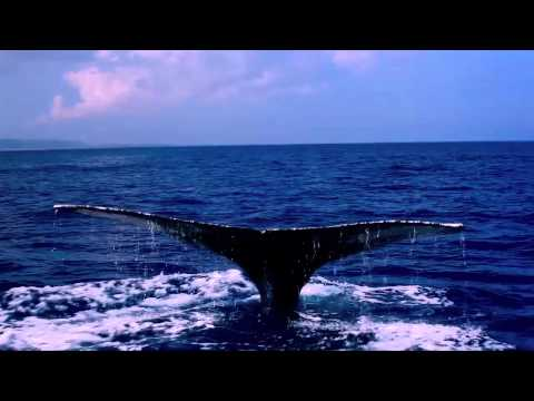 Humpback Whales Battle in Hawaiian Islands (Niihau)