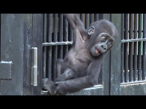 ('19/9/14)生後269日〜キンタロウ日記 14⭐️ゴリラ【京都市動物園】Baby Gorilla Kintaro Diary 14