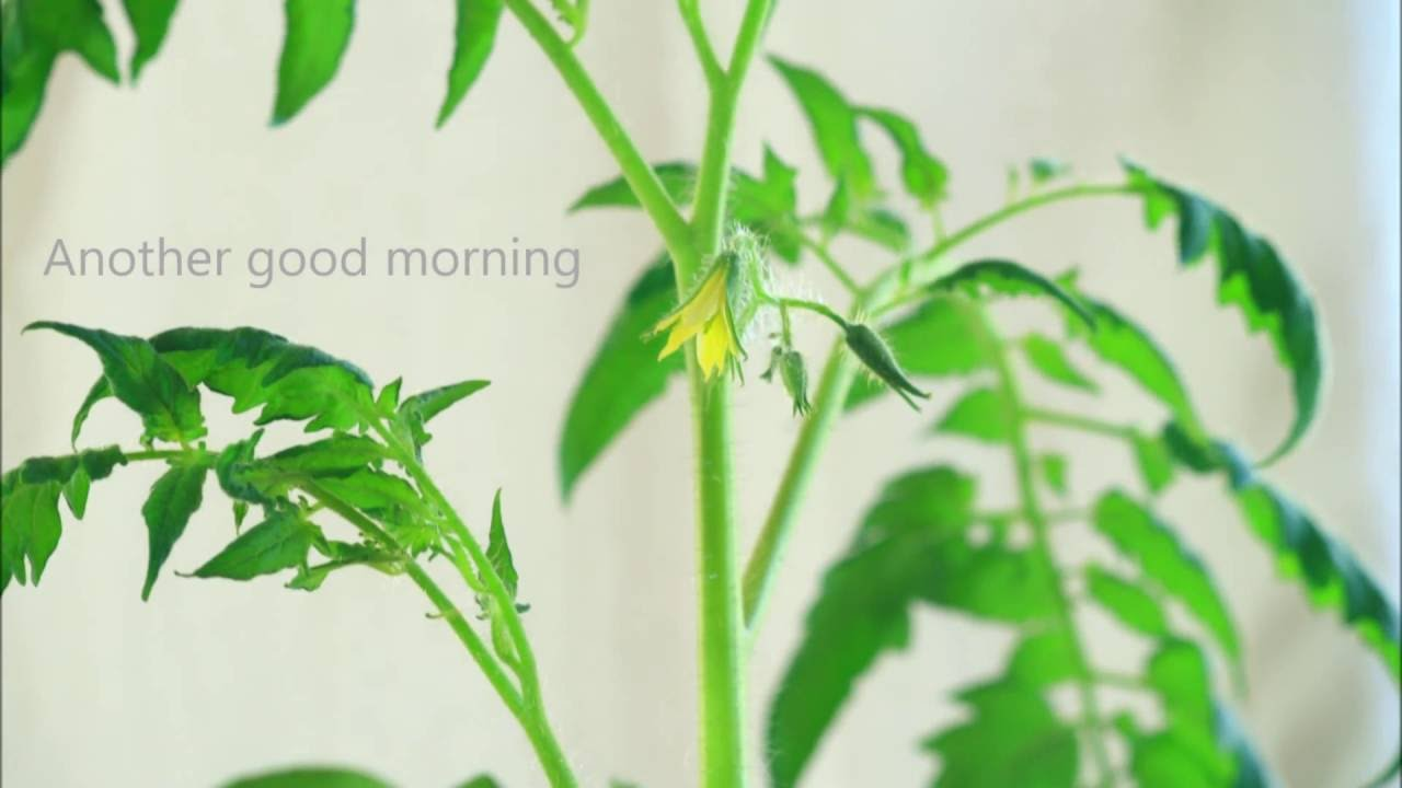 Timelapse Of Tomato Flower Youtube