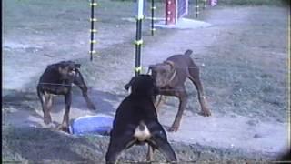 Doberman Pinscher Puppies Of London , Kentucky  606-878-6395 Or Email: Jehenson46@yahoo.com