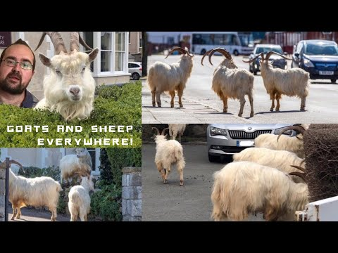 Goats And Sheep Taking Over Welsh Villages?
