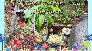 Весенние Новости моих ХИЩНЫХ растений/Carnivorous Plants(This video is about Carnivorous Plants. В этом видео я расскажу, как мои Хищники пережили зиму , что я для этого делала и как..., 2016-04-02T14:03:11.000Z)