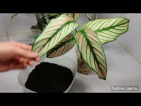 Новые растения в коллекции - 4. Укоренение новых растений