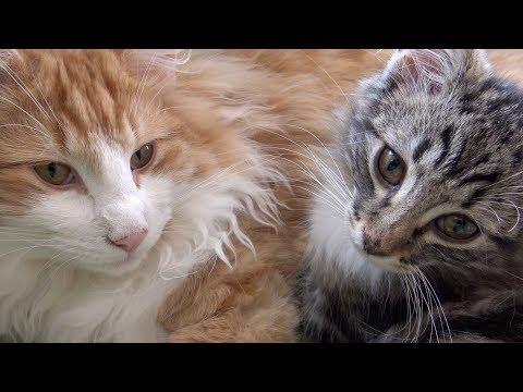 Norwegian Forest Cat / Norwegische Waldkatze Kitten - 3 & 6 Months / Monate - 4K-UHD