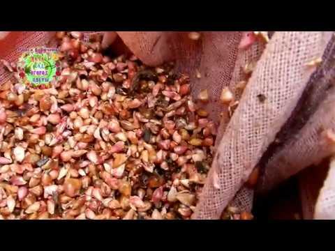 Семена чеснока идут на посадку первыми. Почему нужно садить воздушные луковички чеснока в октябре