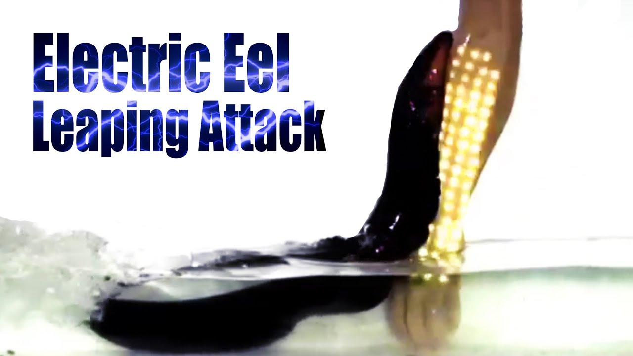 Electric Eels Make Leaping Attacks - YouTube