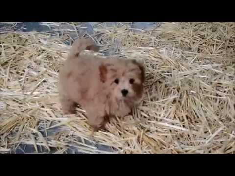 Moodle Puppy playing with Japanese Spitz puppy