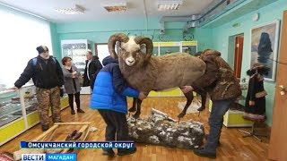Новый снежный баран в экспозиции омсукчанского музея