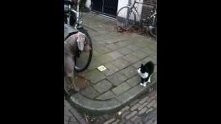 Cat Vs Weimaraner