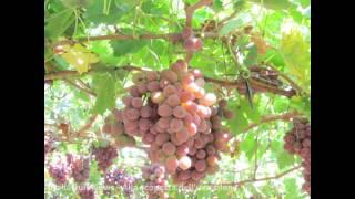 Alla scoperta dell'uva cilena - Italiafruit News