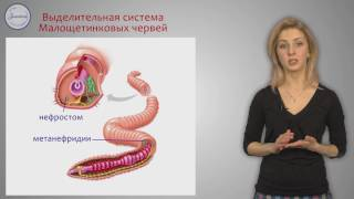 Биология 7 класс. Тип Кольчатые черви.  Класс Малощетинковые.  Класс Пиявки