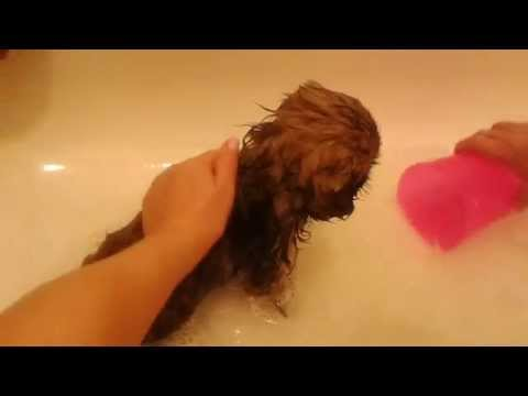 Shih Tzu Puppy's First Bath - How To