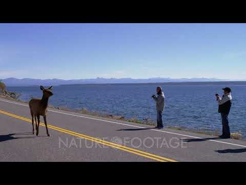 Tourists Photograph Elk On Road By Yellowstone Lake