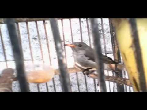 Cabe Cabean Betina ( bukan suara asli video)