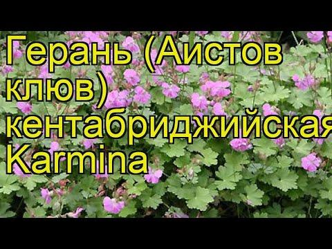 Герань кентабриджийская Кармина. Краткий обзор, описание geranium cantabrigiense Karmina