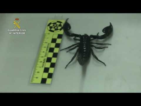 VÍDEO | Desmantelan en Torrijos una tienda que enviaba por mensajería tarántulas, escorpiones y cocodrilos