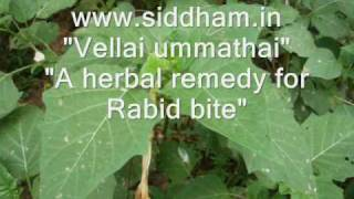 Herbal Medicine - Datura metel - Natural Remedy for Ulcers
