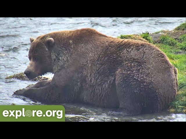 This Week At Brooks Falls - Fat Bears Abound - 09.08.18