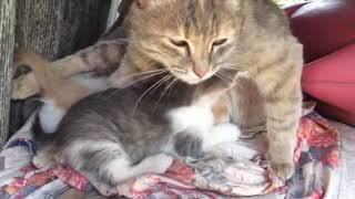 Как мурлыкает кошка с котятами