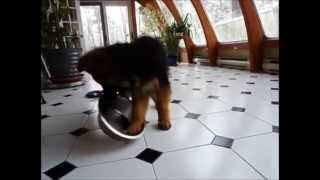 German Shepherd Puppy Plays With Empty Food Bowl