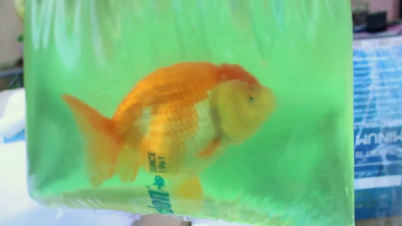 Fish aquarium in ecr - East Coast Ranchu Unboxing Video And Ecrhalloween2015