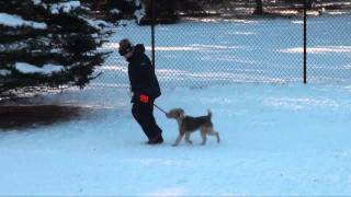 Huck (fox Terrier) Obedience Dog Training Minnesota