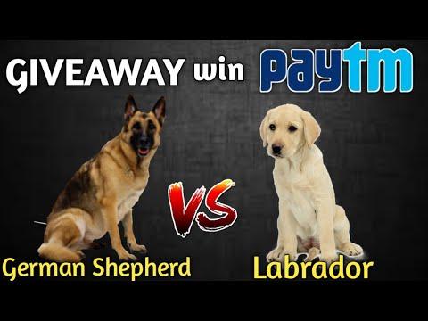 German Shepherd vs. Labrador retriever || Dog comparison || pet 4 you