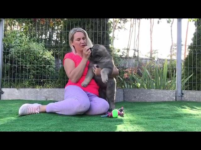 Female Caucasian Shepherd # 03 for sale (litter #1) video1