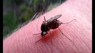 укус комара ржака