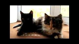 очаровательные шотландские котята-метисы