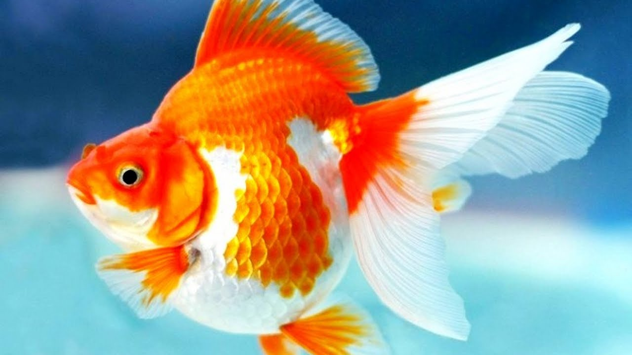 Ikan Mas Koki Stres Apa Yang Perlu Dilakukan Goldfish Is Stress What Should I Do Youtube