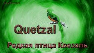 Редкая птица Квезаль (Quetzal)