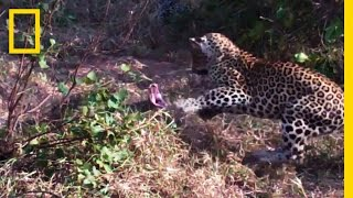Leopards vs. Python Snake | National Geographic