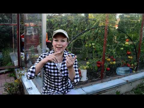 Томаты в августе: обрезка листьев, прищипка верхушки, опрыскивание. Почему трескаются помидоры