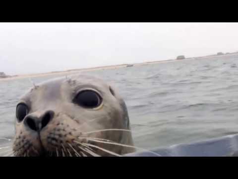 Foca Curiosa Pula em Barco e Abraça Caçador de Patos nos EUA