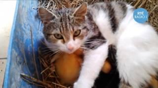 Кошка выкармливает утят, как свое потомство