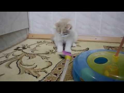 Фотогалерея наших работ - Фото кошек породы Хайленд страйт