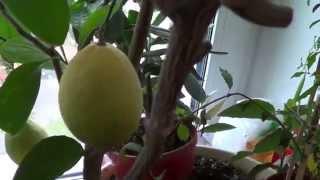 Комнатный лимон Меера(Комнатный лимон Меера., 2014-10-02T14:56:00.000Z)