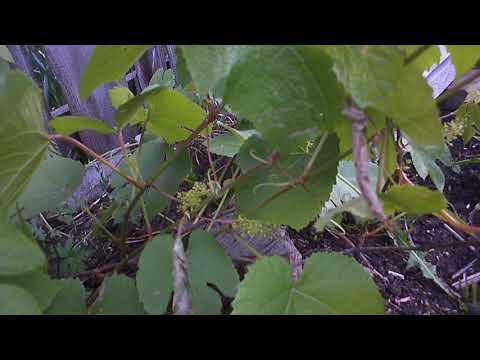 Вопрос: Как избавиться от вредителя щитовки на винограде?