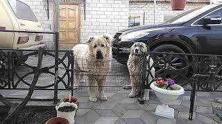 Овчарки. Кавказец и Московская сторожевая.
