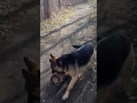Dog Wants to Play with Giant Log