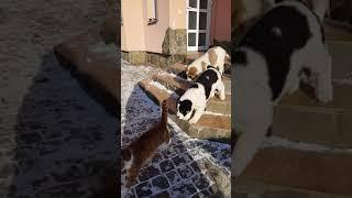 Коты  Рыж и Пыж и наглые щенки алабая
