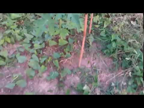 เทคนิคการปลูกมะนาว แบบลงดิน ของ สวนมะนาวออมจ๋า